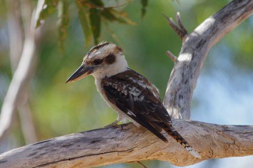 lachender hans bird australia