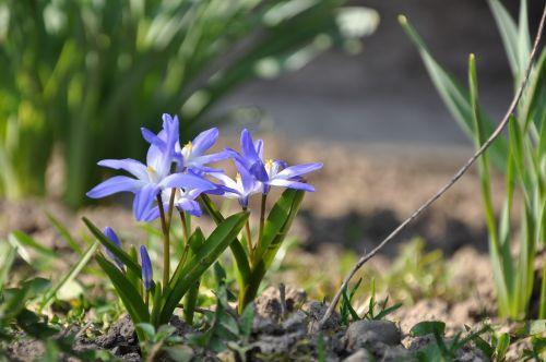 ladoňka vernal flower