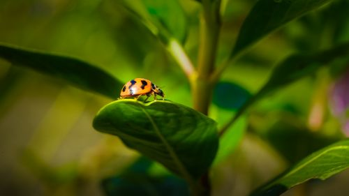 lady bug flora fauna
