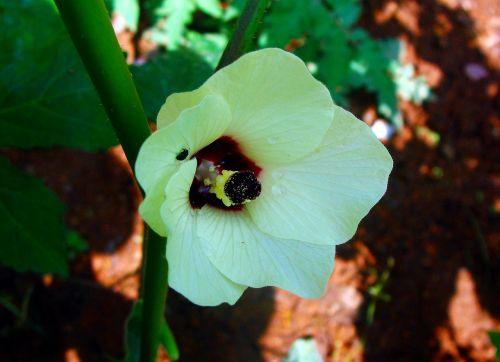 lady finger flower okra
