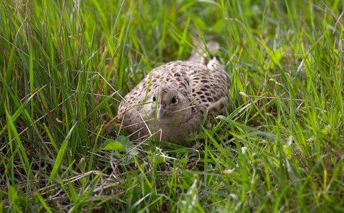 lady pheasant  hen pheasant  hen