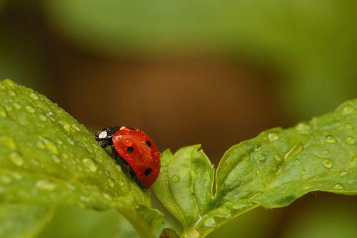 ladybird red nature