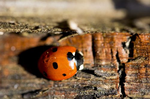 ladybird insect nature