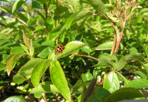 ladybird gathering pollen garden