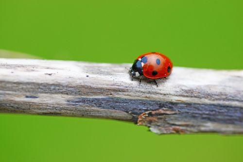 ladybird seven-spot ladybird coccinella septempunctata