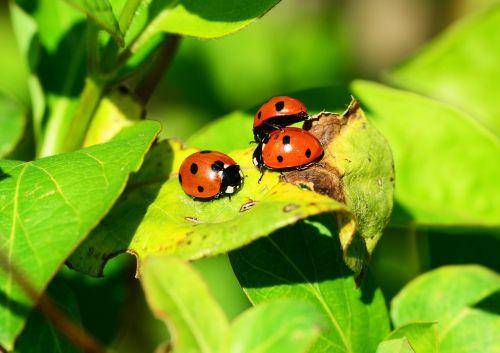 ladybird group seven-spot ladybird
