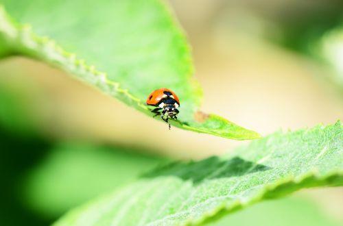 ladybird seven-spot ladybird front view