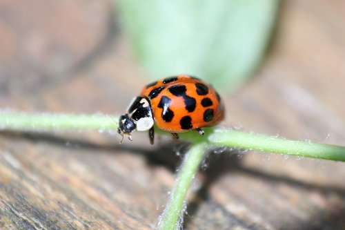 ladybird  insect  spots