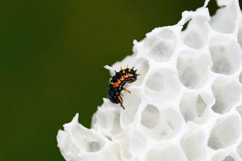ladybird larvae wax comb harlequin ladybird larvae