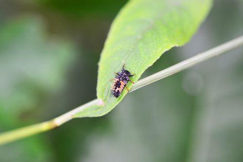 ladybird larvae adult larvae harlequin ladybird larvae