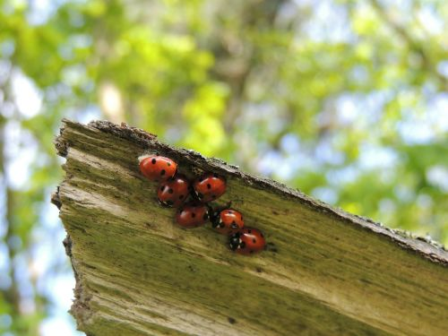 ladybirds macro family