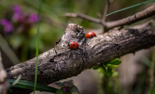ladybirds macro nature