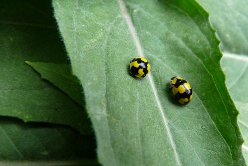 ladybirds insects yellow
