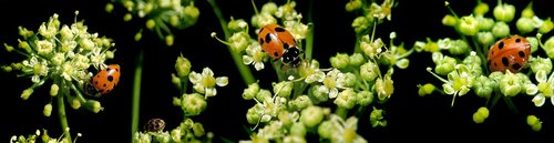 ladybirds  insects  parsley