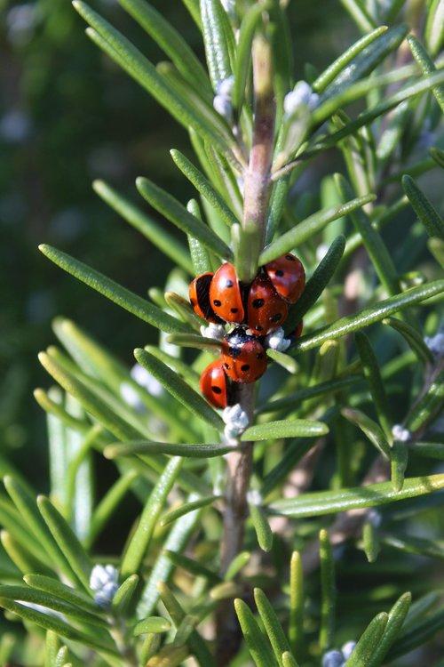ladybirds  rosemary  ladybugs