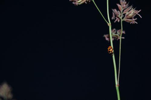 ladybug straws plant