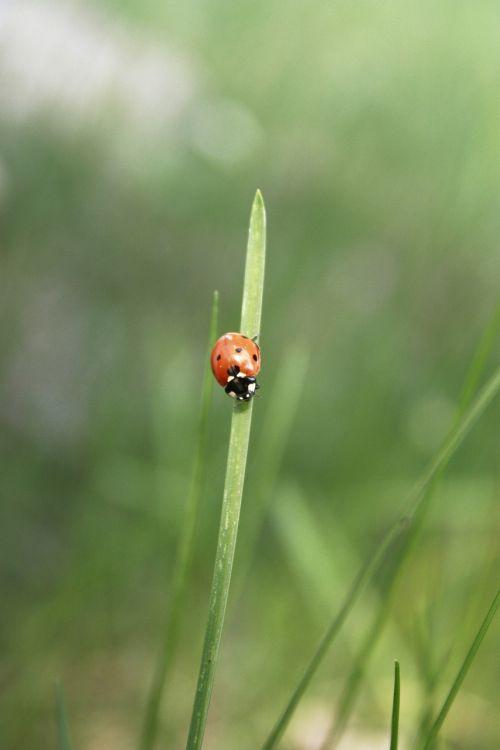 ladybug insect the beetle
