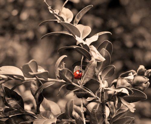 ladybug insect lucky ladybug