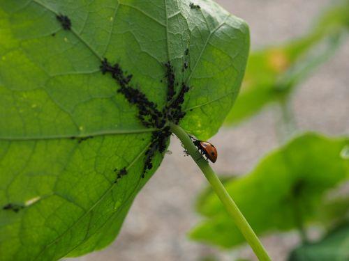 ladybug lice eat