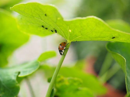 ladybug lice full
