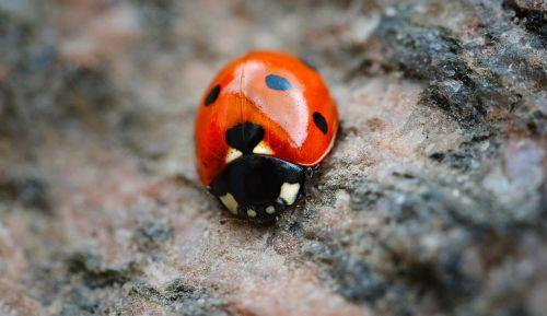 ladybug red points