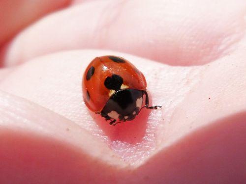 ladybug hand coleoptera