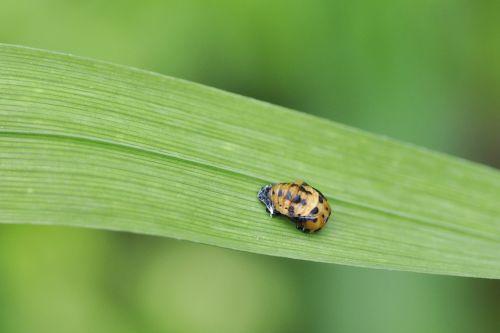 ladybug doll asian