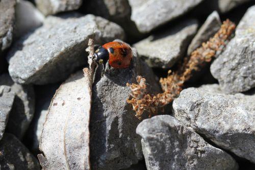 ladybug pebble grey