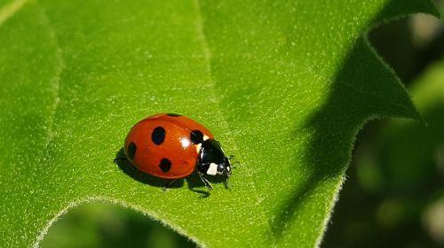 ladybug 7-spot lady beetle ladybird