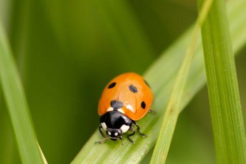 ladybug red beetle