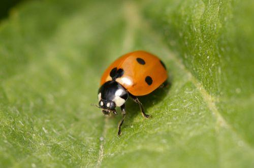 ladybug points beetle