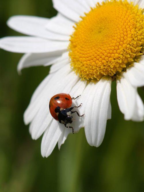 ladybug marguerite nature