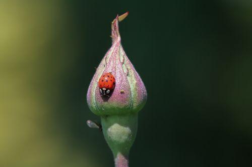 ladybug blossom bloom