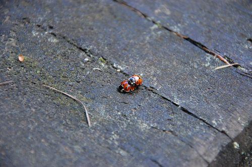 ladybug ladybugs nature