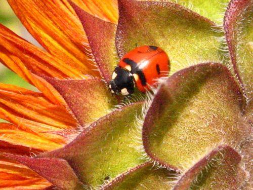Boružė,vabalas,saulėgrąžos,vabzdys,makro,Iš arti,gamta,Boružė,raudona,dėmės,juoda,sparnai,skristi,gėlė,mielas,puvinio eateras,simbolis,laimingas