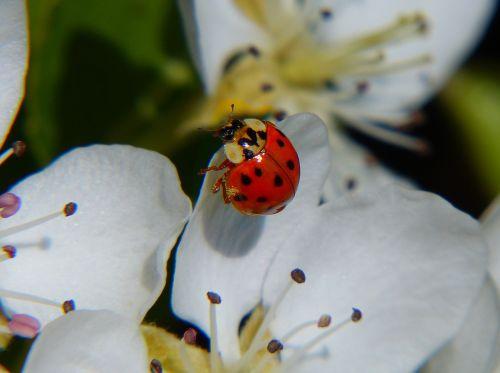 ladybug asian ladybug lucky ladybug