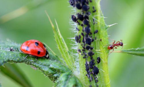 ladybug beetle coccinellidae