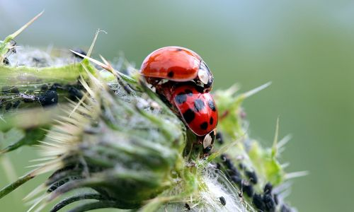ladybug asian ladybug harmonia axyridis