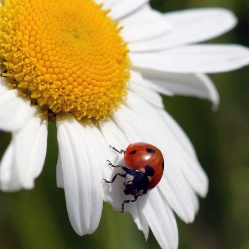 Boružė, berniukas, vabzdys, Uždaryti, Iš arti, detalės, dėmės, raudona, balta, gėlė, žiedlapiai, gamta, lauke, Laisvas, viešasis & nbsp, domenas, Boružė