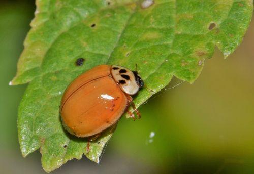 ladybug ladybird lady beetle