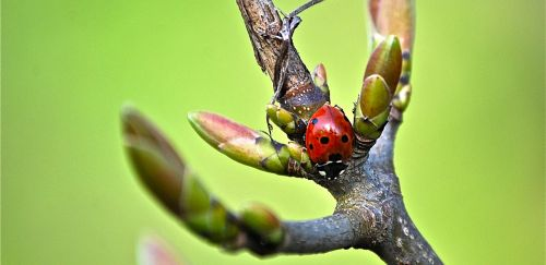 ladybug branch insect