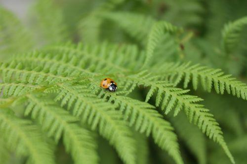 ladybug insect bracken