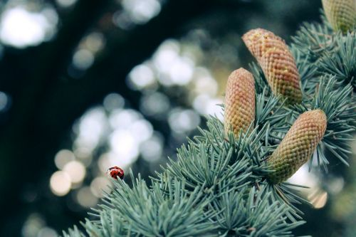 ladybug silver fir fir