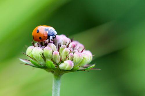 ladybug coccinellidae siebenpunkt