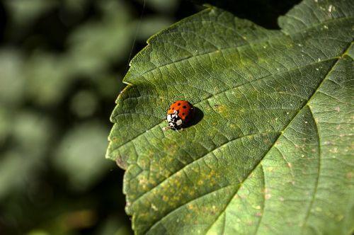 ladybug nature insect
