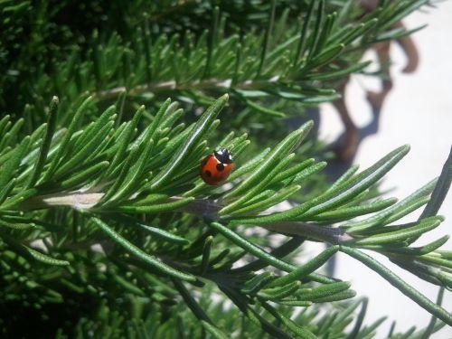 ladybug insect nature