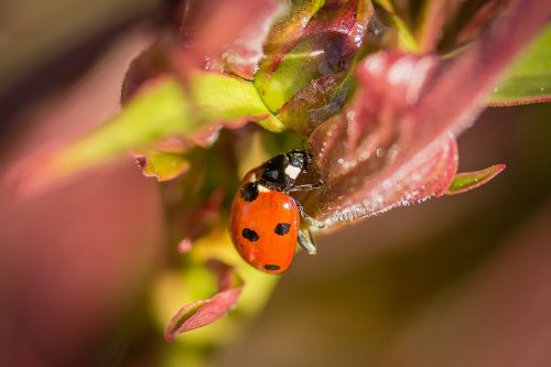 Boružė,makro,gamta,vabzdys,vabalas,Uždaryti,taškai,raudona,siebenpunkt ladybird,makro nuotrauka,gyvūnai,pavasaris,coccinellidae,Iš arti