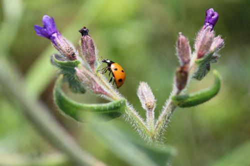 Boružė,klaidas,gėlė,gamta,augalas,taškeliai,makro
