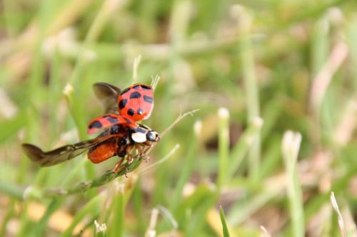 ladybug departure grass