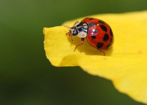Boružė,vabalas,žiedas,žydėti,taškai,vabzdys,gamta,gyvūnai,fauna,lapai,makro,Uždaryti,geltona,pavasaris,raudona,vabzdžių makro,spalva,spalvinga,makro nuotrauka